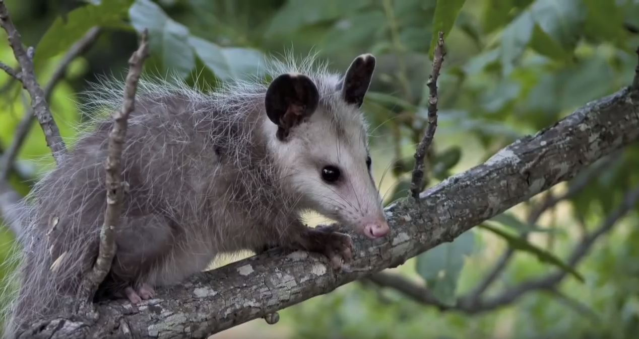 About Opossum: Appearance, biology, life cycle, habitat